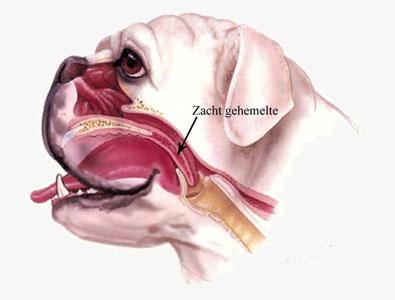 Een dwarsdoorsnede van de ademhalingswegen van een brachycefale hond met in dit geval ook een te lang zacht gehemelte.
